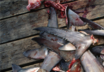 Bahamian Sharks threatened by shark finning Photo