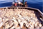 North Mariana Islands outlaws shark fin trade Photo