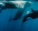 Shawn Heinrichs captures epic battle between orcas and sperm whales Photo