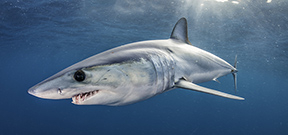 New study shows high mortality rate of mako sharks Photo