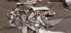 New Zealand sets out to ban finning Photo