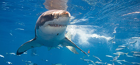 New paper suggest great whites live longer and mature slower Photo