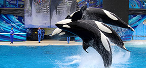 Seaworld to continue orca shows Photo