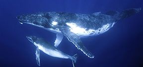 New paper tracks humpback movements Photo