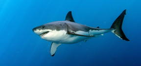 Great White Shark dies after 3 days in captivity in Okinawa aquarium Photo