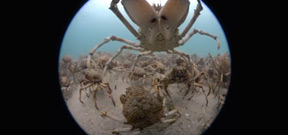 Shooting a dome projected video - including giant spider crab migration Photo