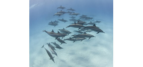Government proposes ban on swimming with wild Hawaiian spinner dolphins Photo