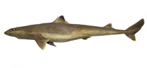 New shark species named in honor of Eugenie Clark Photo
