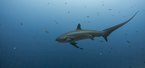 Thresher sharks stun prey with tail slaps Photo