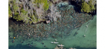 Group threatens lawsuit to keep people away from manatees Photo