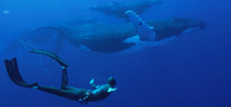 Video: Tofua'a: Seeing Eye to Eye with Tonga's Humpback Whales. Photo