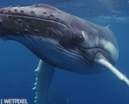Video: Tonga whales above and below by Simon Buxton Photo