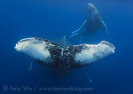 Tony Wu catalogs humpback whale calves in Tonga Photo