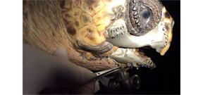 Wounded sea turtle gets a 3-D printed titanium jaw Photo