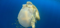 Scientists find that sea turtles have evolved to use flippers like hands Photo