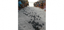 Human wall guides baby turtles to sea Photo