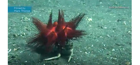 Wild Oceans: Crab uses urchin shield Photo