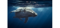 Kickstarter campaign to find the loneliest whale in the ocean Photo