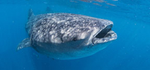 Whale Sharks 2014: Trip report Photo