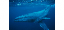 "New paper shows whale ears ""float"" in their heads Photo"