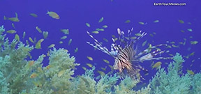 Video: Lionfish stalks and kills prey Photo
