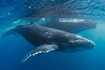 Tony Wu blogs from Tonga: Week Three with Humpbacks Photo