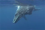 """Humpback Whales of Tonga"" by Mary Lynn Price Photo"
