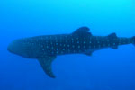 Taiwan bans whale shark trade by 2008 Photo