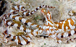Distinctions between mimic octopus and wonderpus Photo