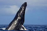 Tony Wu blogs from Tonga: Week Four with Humpbacks Photo