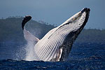 Tony Wu blogs from Tonga: Week Six with Humpbacks Photo