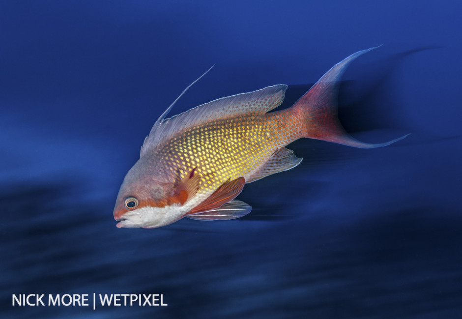 Red Sea Anthias (male), Red Sea, Egypt. Settings: ISO160 f/18 1/8th sec. Accelerated Panning with Front Curtain Sync.