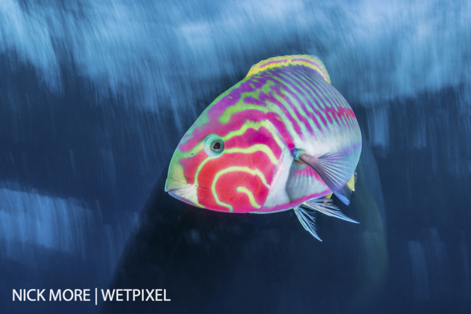 Klunzingers Wrasse, Red Sea, Egypt. Settings: ISO100 f/16 1/8th sec. Accelerated Panning with Front Curtain Sync.