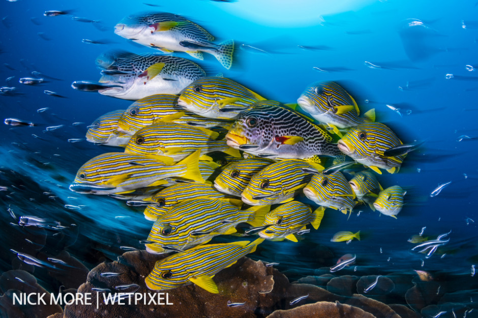 Schooling Yellow-ribbon Sweetlips, (Plectorhinchus polytaenia).  Sauwandarek Jetty, Raja Ampat, West Papua, Indonesia.  Settings: ISO200 f/16 1/8th sec. Accelerated Panning with Front Curtain Sync. Winner: Ocean Art - Wide Angle 2019.