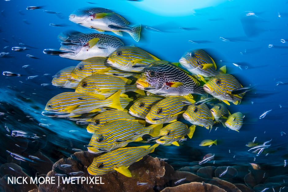 Schooling Yellow-ribbon Sweetlips, (Plectorhinchus polytaenia).  Sauwandarek Jetty, Raja Ampat, West Papua, Indonesia.  Settings: ISO200 f/16 1/8th sec. Accelerated Panning with Front Curtain Sync. Winner: Ocean Art - Wide Angle 2019.