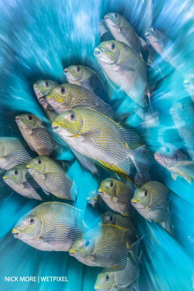 Rabbit Fish Zoom Blur.  Sauwandarek Jetty, Raja Ampat, West Papua, Indonesia.  Settings: ISO200 f/20 1/8th sec. Zoom Blur with Front Curtain Sync. Awarded: British Underwater Photographer of the Year (UPY) 2020.