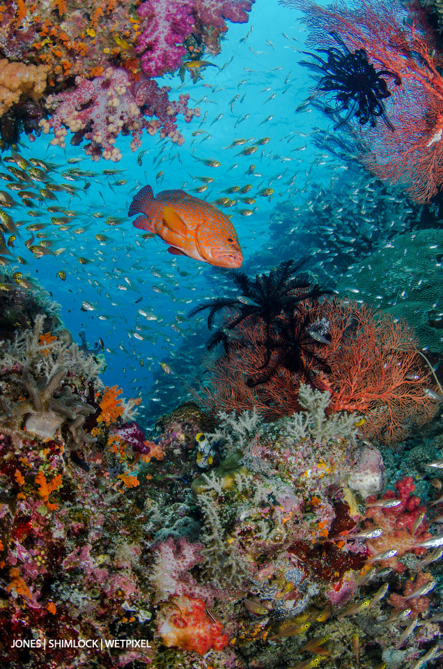 "2015: ""Tank Rock"", SE Misool, Raja Ampat, West Papua, Indonesia Coral Grouper (*Cephalopholis miniata*)"