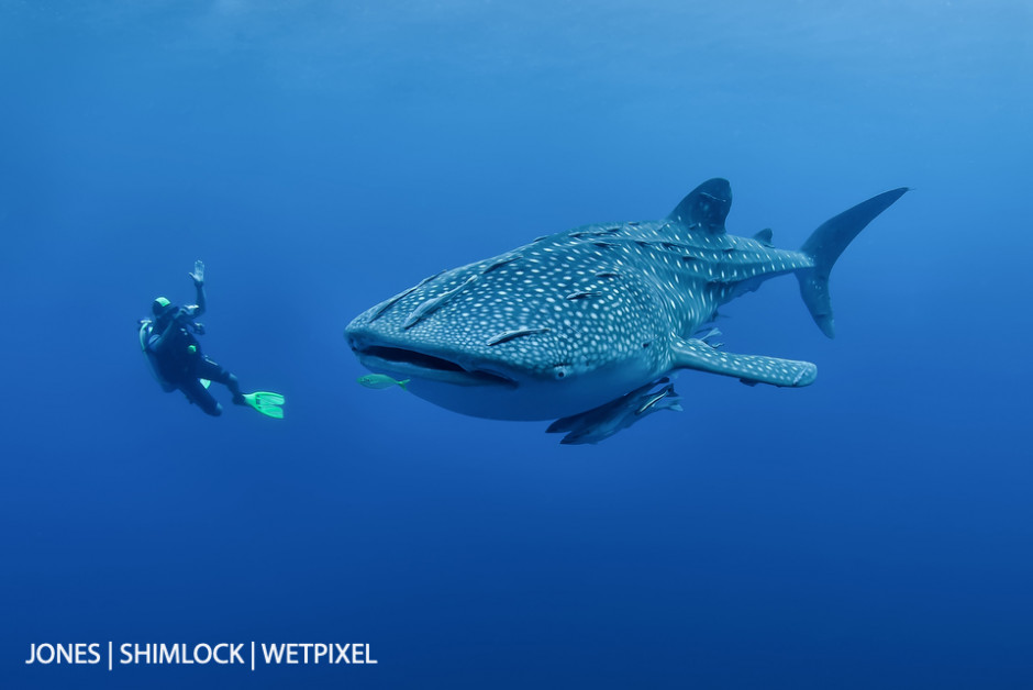 2009: Kwatisore Bay, Cenderawasih National Park, West Papua, Indonesia. Diver tries to get a whale sharks attention.  (*Rhincodon typus*)
