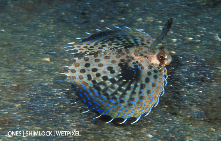 """2005 (film): Lembeh Strait, Sulawesi, Indonesia. Helmut-Flying Gurnard (*Dactyloptena orientalis*). Shot w/ """"Panning"""" technique, slow shutter speed while focus tracking."""
