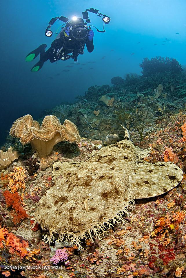 """2010: """"Citrus Ridge, Raja Ampat, West Papua, Indonesia. Tasselled Wobbegong (*Eucrossorhinus dasypogon*)"""