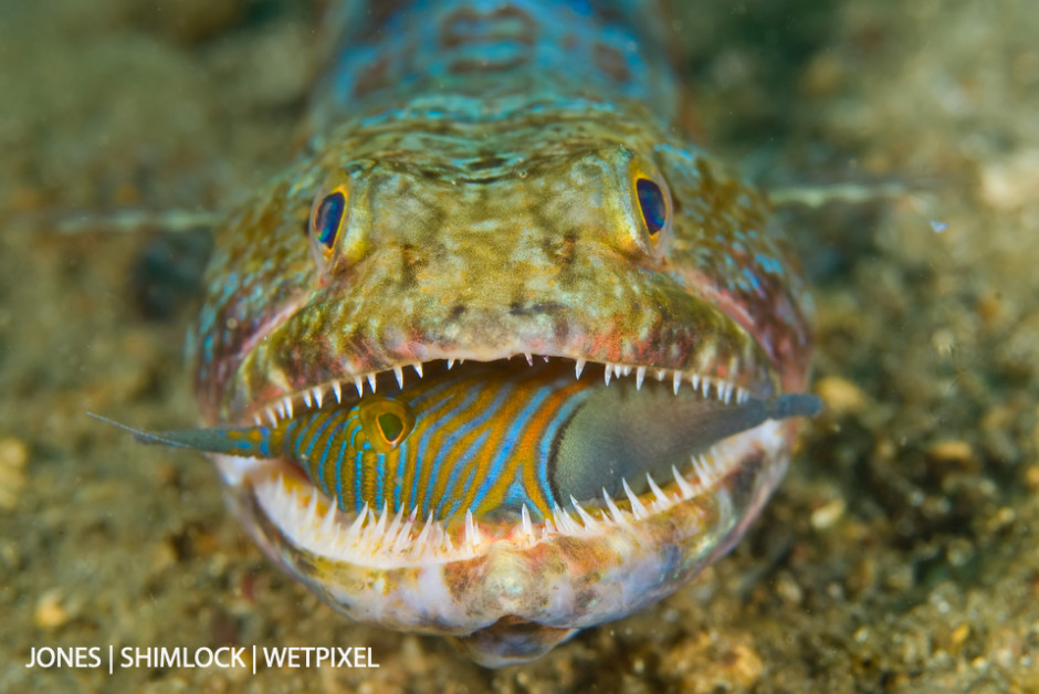 2009: Lembeh Strait, Sulawesi Indonesia. Lizardfish (*Synodus sp.*) is attempting to swallow a Orange-lined Triggerfish (*Balistapus undulatus*)