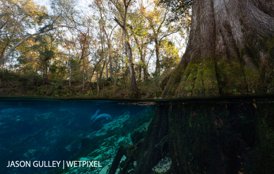 Manatees graze vegetation in the Fanning Spring spring vent. When ocean temperatures dip below 21°C in winter, manatees must migrate to warm water refuges, like Florida's groundwater-fed springs, to survive.