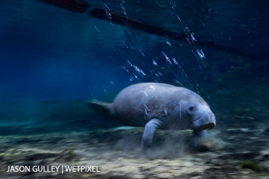 """When not swimming, manatees use their two front flippers to """"run"""" or """"walk"""" along the bottom of Florida springs and waterways."""
