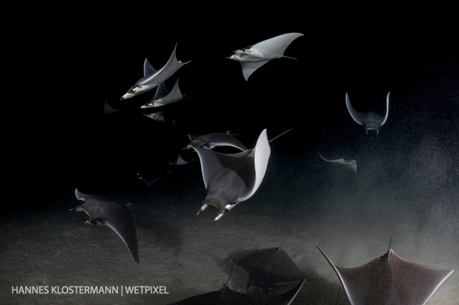 A small school of mobula rays (*Mobula munkiana*) feeding on plankton during a night dive near La Paz.