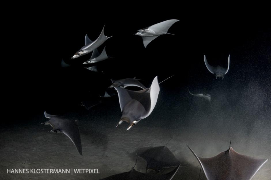 A small school of mobula rays (*Mobula munkiana*) feeding on plankton during a night dive near La Paz.
