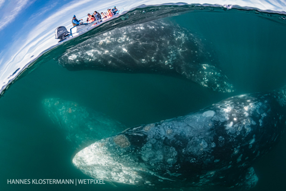 Grey whales (*Eschrichtius robustus*) underneath a whale-watching boat in Magdalena Bay.
