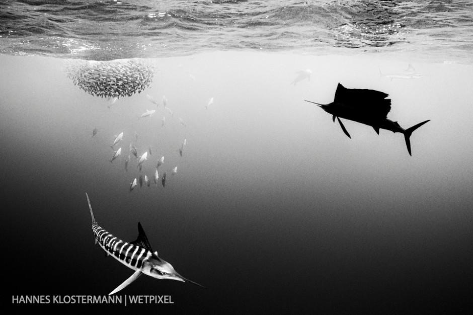 Striped marlin, skipjack tuna, California sea lion, and a sailfish all preying on a bait ball.