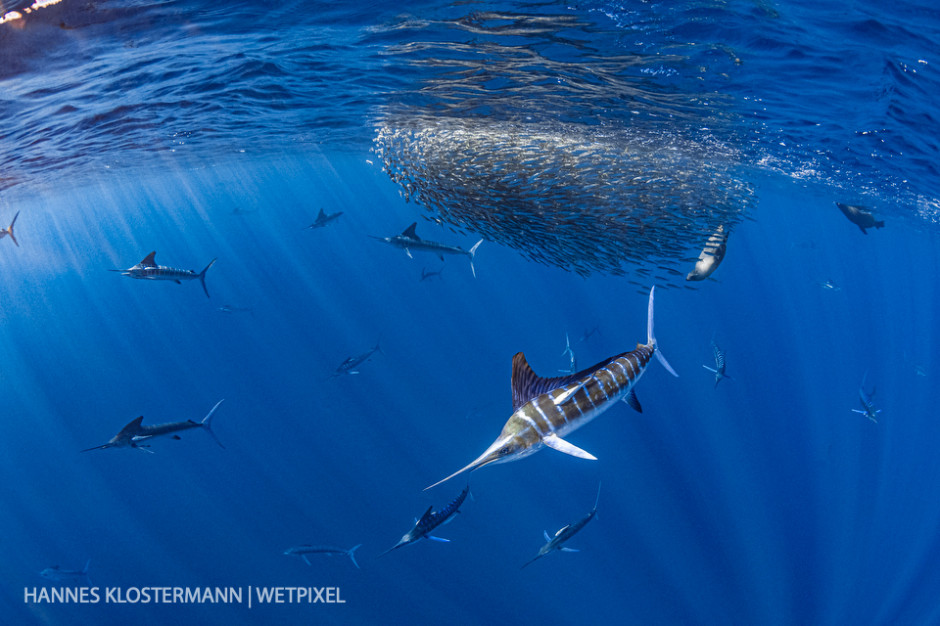 Striped marlin (*Kajikia audax*) and California sea lions (*Zalophus californianus*) hunting mackerel.