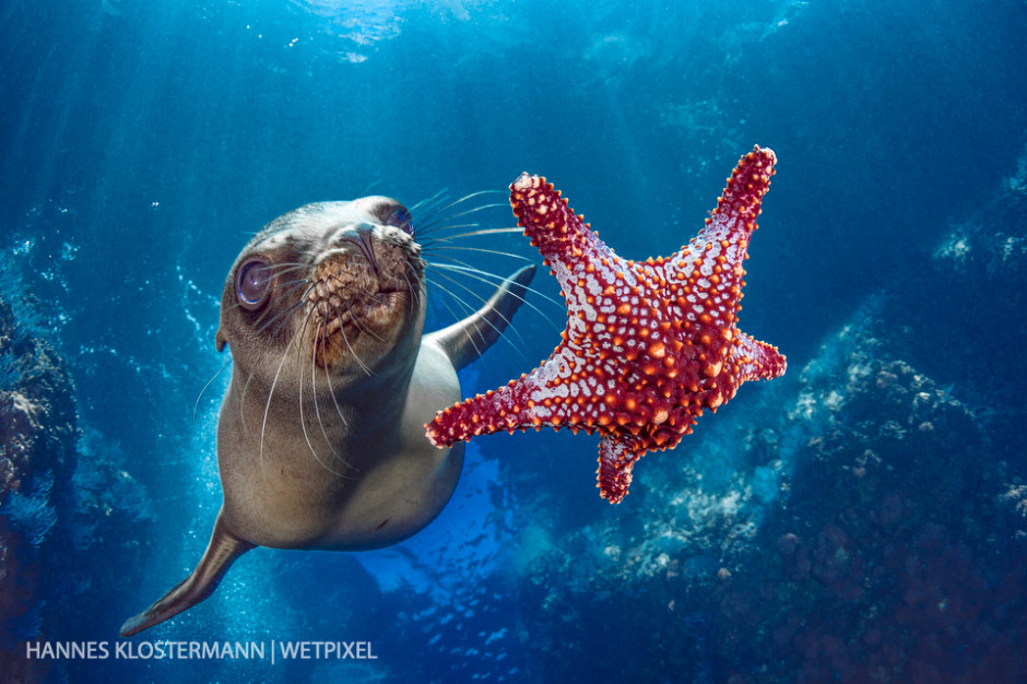 A young California sea lion (*Zalophus californianus*) plays with a starfish.