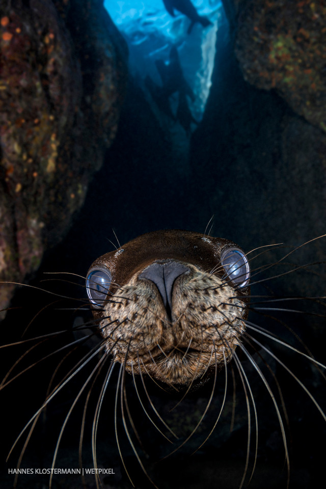 A juvenile California sea lion (*Zalophus californianus*) investigates the camera.